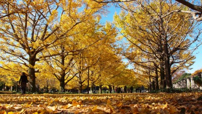 Autumn_colors_in_Showa_memorial_park