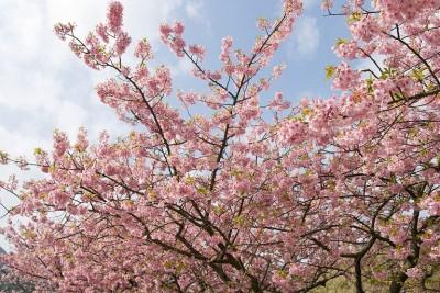 1280px-Prunus_lannesiana_cv._Kawazu-zakura_05