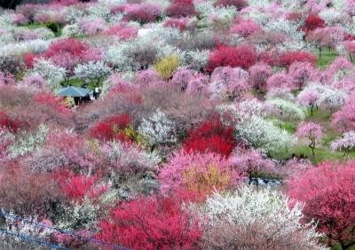 いなべ市梅林公園梅祭り