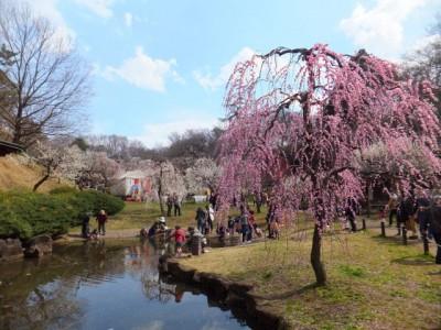 大倉山公園梅祭り
