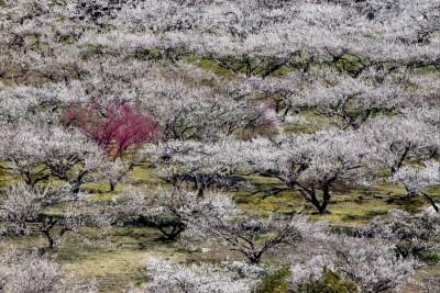 越生梅林の梅の見ごろ