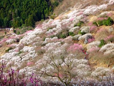 湯河原の梅