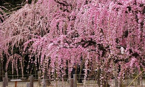 結城神社の梅2016年の見頃、開花状況は?梅まつりの時間日程と見どころ